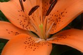 picture of asiatic lily  - A spectacular orange hybrid lily blooming in the garden. ** Note: Shallow depth of field - JPG