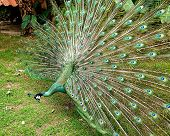 stock photo of female peacock  - peacock spread tail - JPG