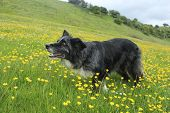 image of border collie  - Blue merle border collie enjoying play time among the buttercups - JPG