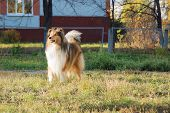 image of collie  - Purebred collie stands on playground for dogs - JPG