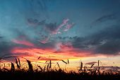 stock photo of tangelo  - Cereal ears of rye field at background of crimson sunset cloudy dramatic sky - JPG