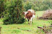 foto of rainy day  - Beautiful wet alone cow on the edge of the forest in rainy day - JPG