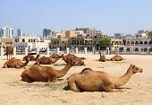 stock photo of qatar  - Camels resting in a compound in central Doha Qatar with the main souq Souq Waqif in the background - JPG