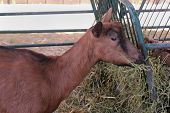 stock photo of eat grass  - Young goat eating grass inside country farm - JPG