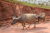 image of female buffalo  - Asian buffalo with some of it - JPG