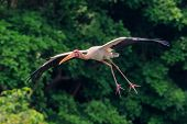 pic of stork  - A painted stork gliding with legs extended to land - JPG
