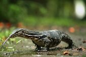 "picture of monitor lizard  - The Water Monitor (Varanus salvator) is native to South and Southeast Asia. Varanus salvator is a lizard (reptile) member of the Varanidae family. This monitor is also known as the ""Asian Water Monitor.""