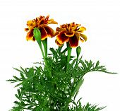 picture of marigold  - Red marigold flower (