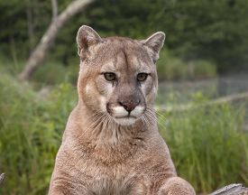 foto of cougar  - Cougar staring intently with natural green background - JPG