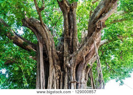 A Ficus lacor Buch big lod tree