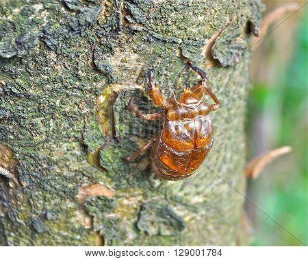 The dried cicada shell closeup on tree