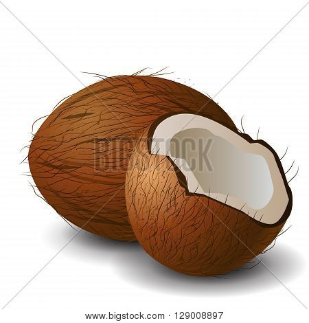 Coconut tropical nut fruit with cut vector illustration isolated white background