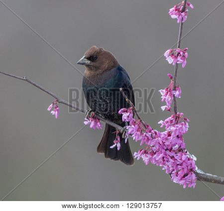 Brown-headed Cowbird perched in a redbud tree.