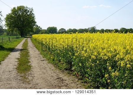 rural landscape with dirt track and rapeseed or canola field