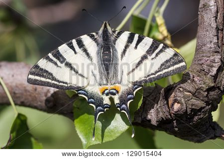 Beautiful white butterfly sits on a tree branch.