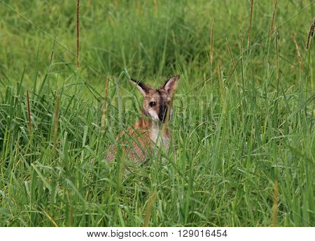 Wallaby hiding in the high grass of a farm in new South Wales.
