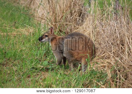 Small kangaroo grazing. Photographed on a farm in New South Wales Australia.