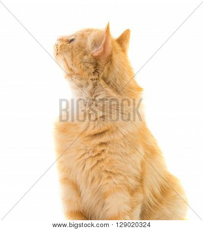 cat isolated on white background looking, anticipation