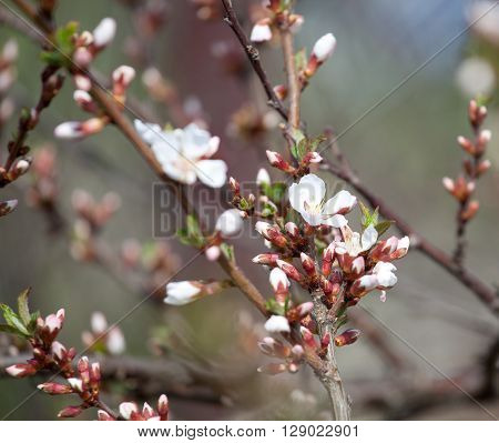 cherry blossom white - Hanami beginning soft focus