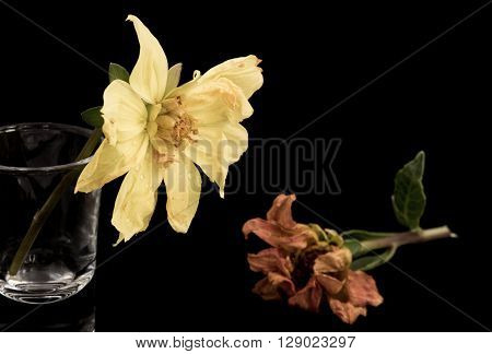 Yellow and orange wither dying dahlia flowers isolated on a black background