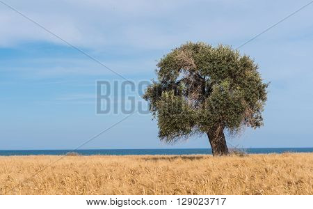Lonely olive tree on a wheat field near the sea with blue cloudy sky