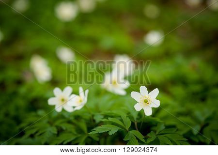 Macro photography of beautiful blooming anemone flowers - sign of spring season.