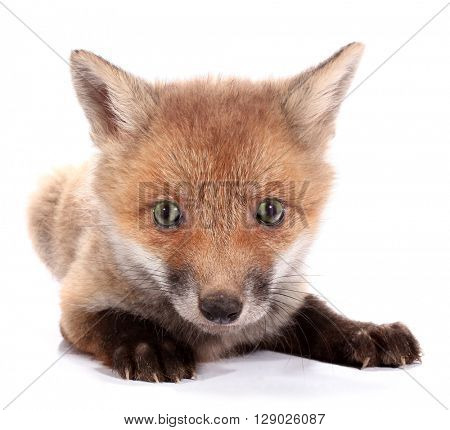 Little fox kit
