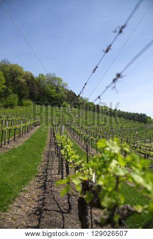 Early spring grape vineyard vines on a hillside.