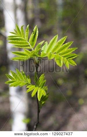 Young leaves of mountain ash in spring the Botanical garden. Moscow. Russia.