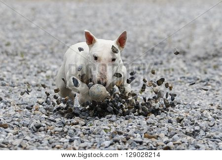 White bull terrier sliding in the rocks to get a ball