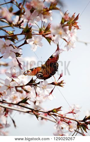 peacock butterfly on cherry blossom trees soft focus