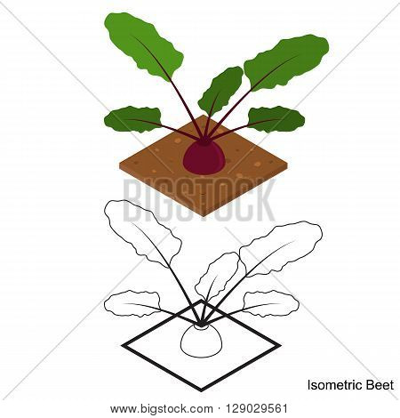 Isometric beets. Ripe delicious and healthy beetroot. The purple vegetable. Healthy eating. Vegetarian food. Beets in the garden. Edible raw plant. Vector illustration.