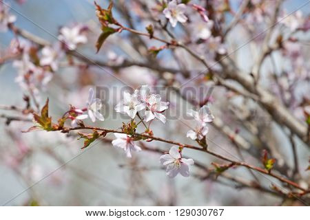 cherry blossom (sakura) - Hanami beginning soft focus
