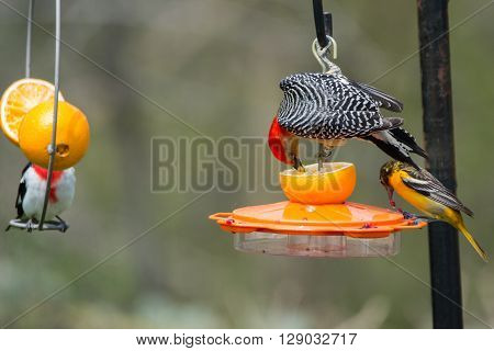 Red-bellied Woodpecker Baltimore Oriole and Rose-breasted Grosbeak feeding on oranges and grape jelly at a backyard feeder.
