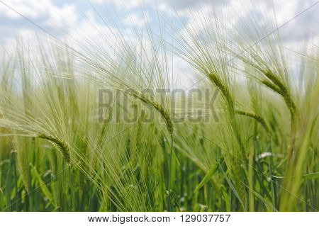 Green barley field. Close up view of a lush green barley field in spring.