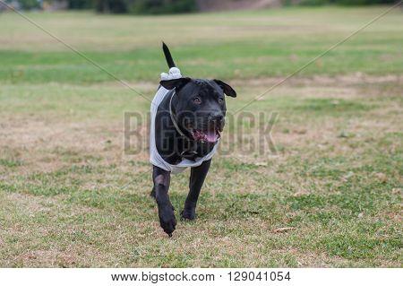 Pit Bull mix puppy running across the grass