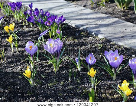 Violet and yellow flowers of crocus in the garden in early spring