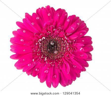 pink gerbera on a white background, gerber, gerbera,
