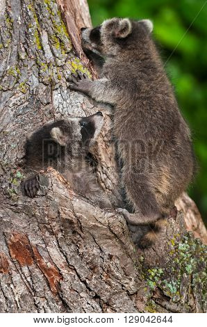 Young Raccoon (Procyon lotor) Climbs Up Watched by Sibling - captive animals