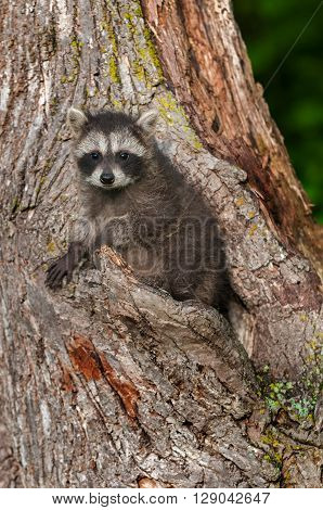 Young Raccoon (Procyon lotor) Stares Straight Out - captive animal
