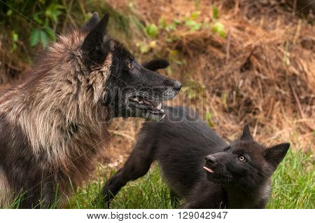Black Phase Grey Wolf (Canis lupus) Looks Up in Profile - captive animals