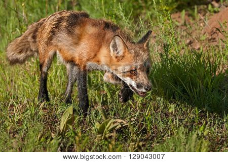 Red Fox Vixen (Vulpes vulpes) Stalks Right - captive animal