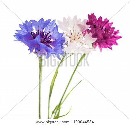 Flowers cornflowers on a white background closeup, cornflower
