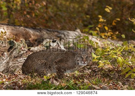 Bobcat (Lynx rufus) Crouches Near Log - captive animal