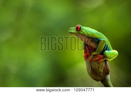Red eye tree frog sitting on the top of  lotus leaf