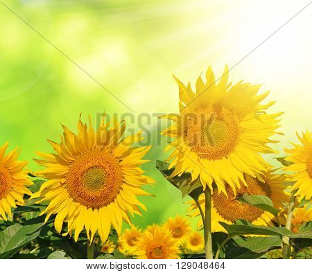 Sunflower field on a green natural background