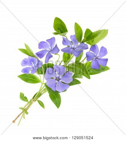 Periwinkle Vinca minor isolated on white. close up