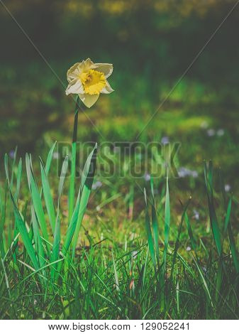 Yellow daffodil flower in spring in the garden