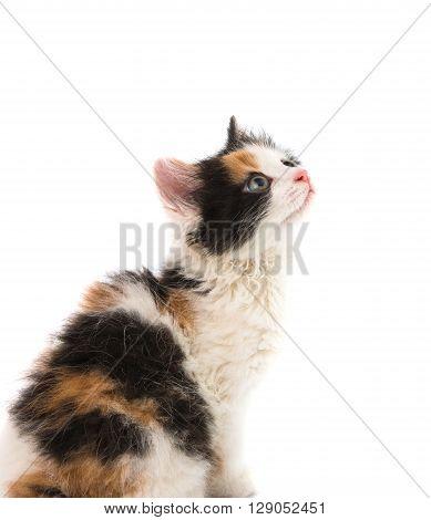little kitten on white background, little, orange,