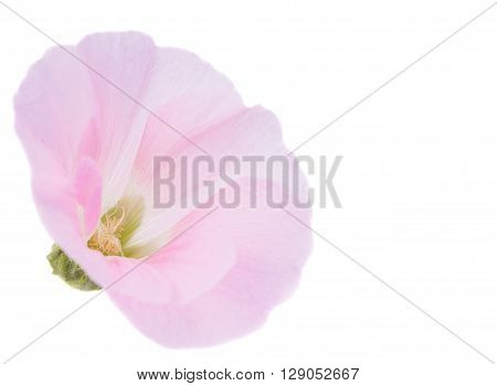 pink mallow flower on a white background